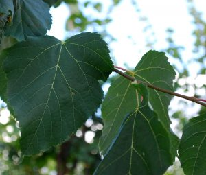 tilia-x-flavescens-glenleven-koningslinde-blad
