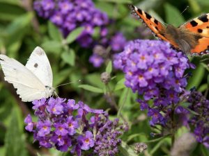 Foto van twee vlinders op een vlinderstruik
